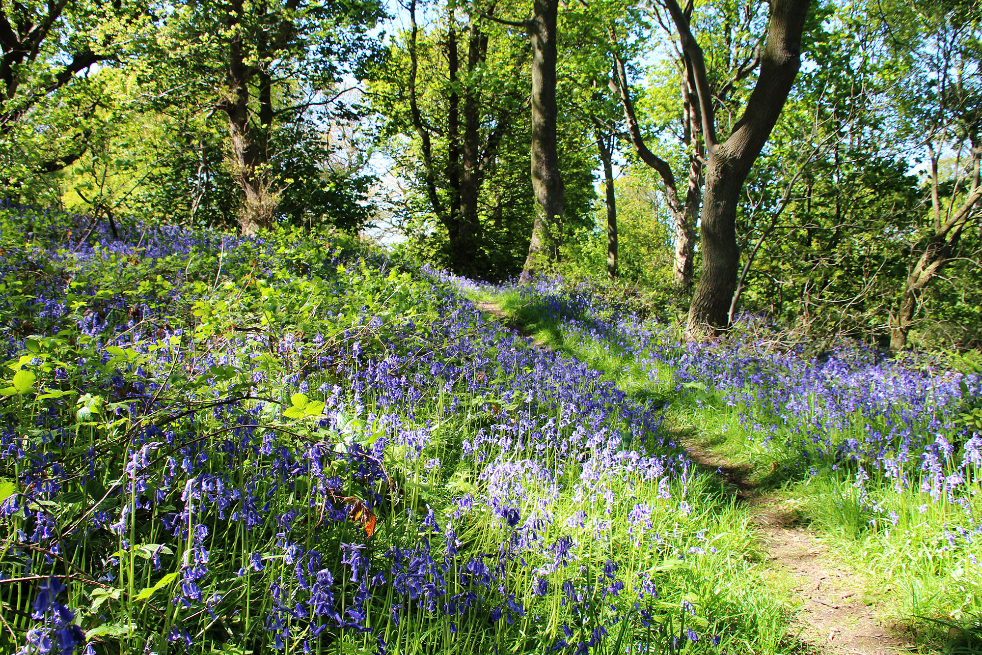 *Bluebells at Coed Bell