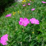 Picture of Bloody Cranesbill at Loggerheads