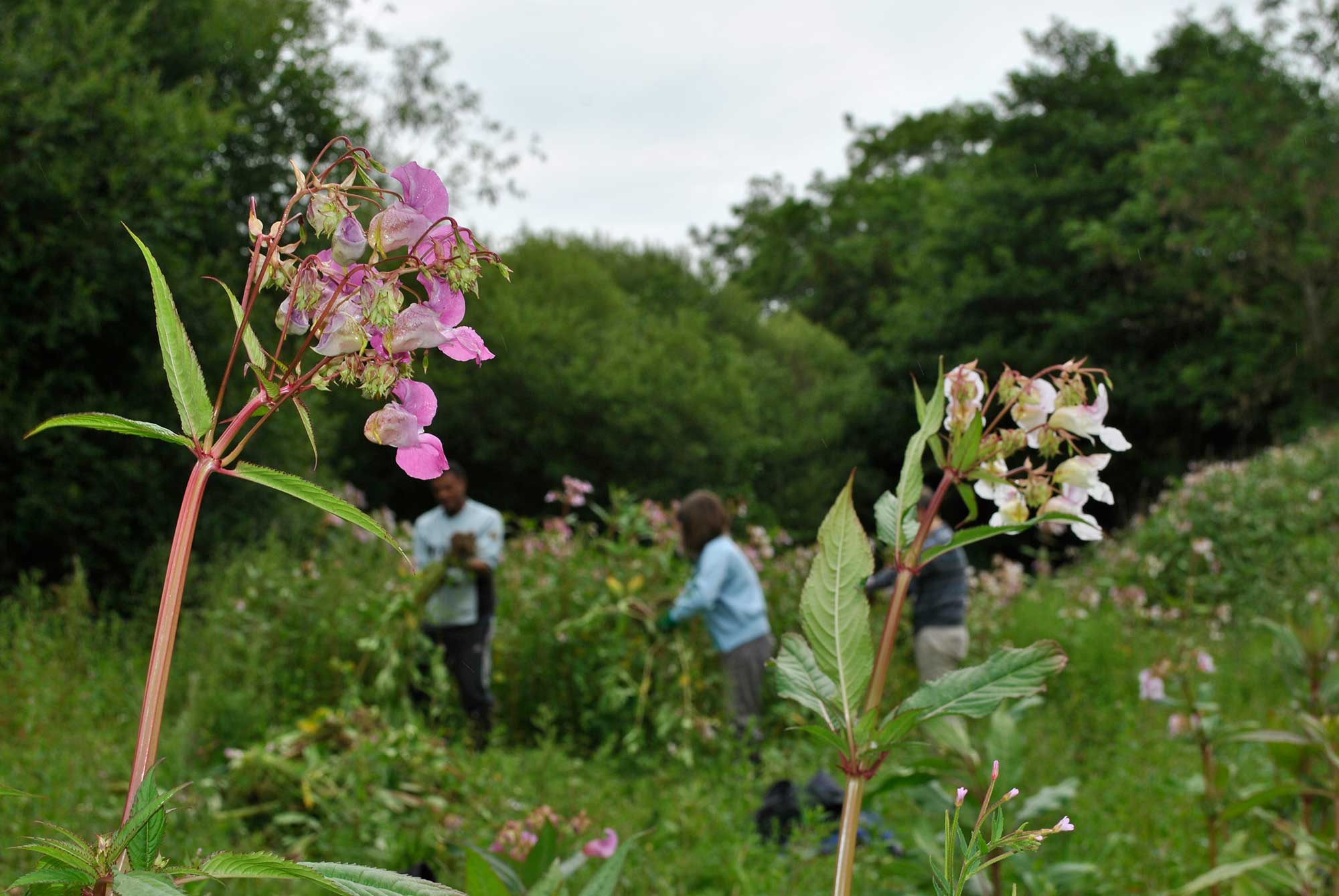 Volunteers weeding out Himalayan Balsam