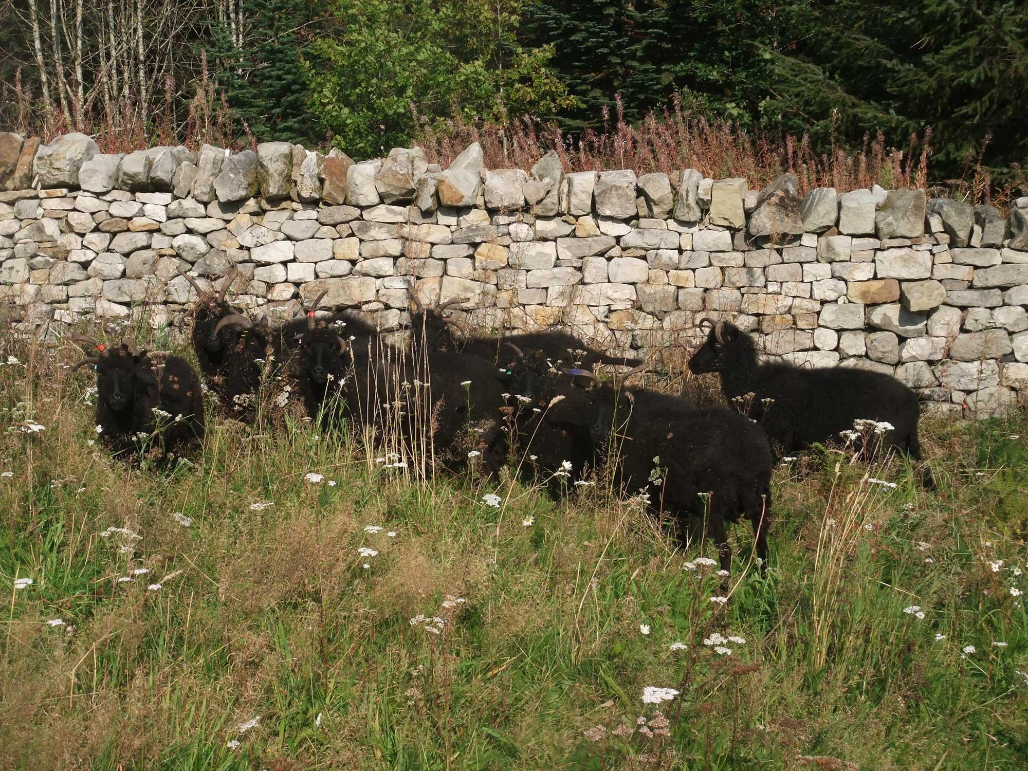 *Hebridean Sheep in Wildflower meadow