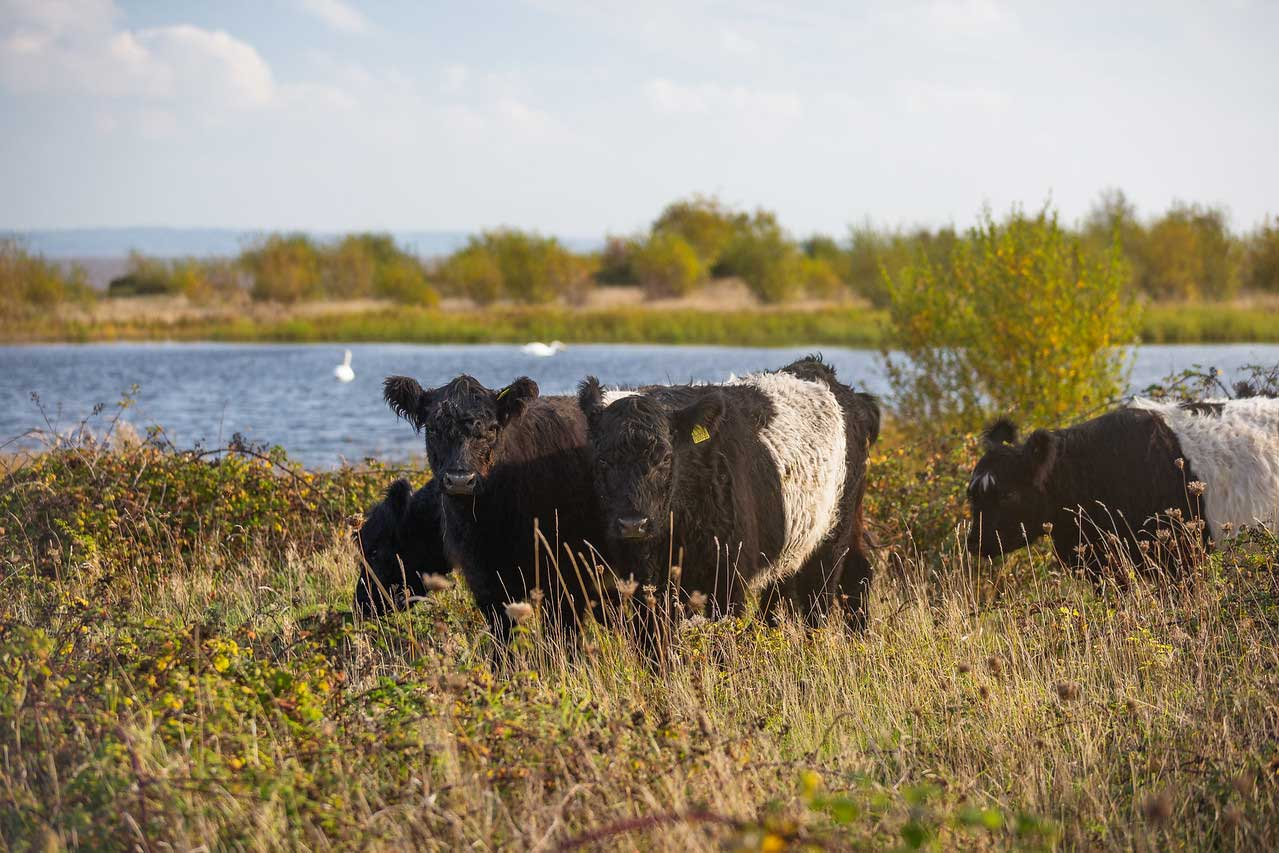 *Belted Galloway Cattle