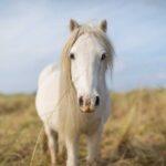 *Grey Carneddau pony