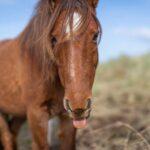*Carneddau Pony pulling tongues